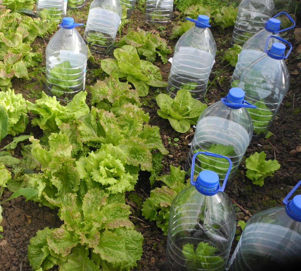 Culture sous cloches (ici des bouteilles d'eau dont on a coupé le fond)