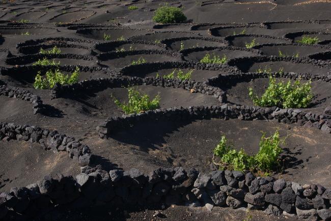 Culture de la vigne en cratère