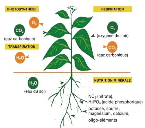 Vie de la plante