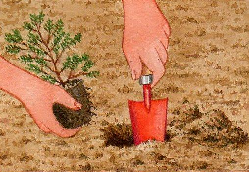 Planter une bruyère