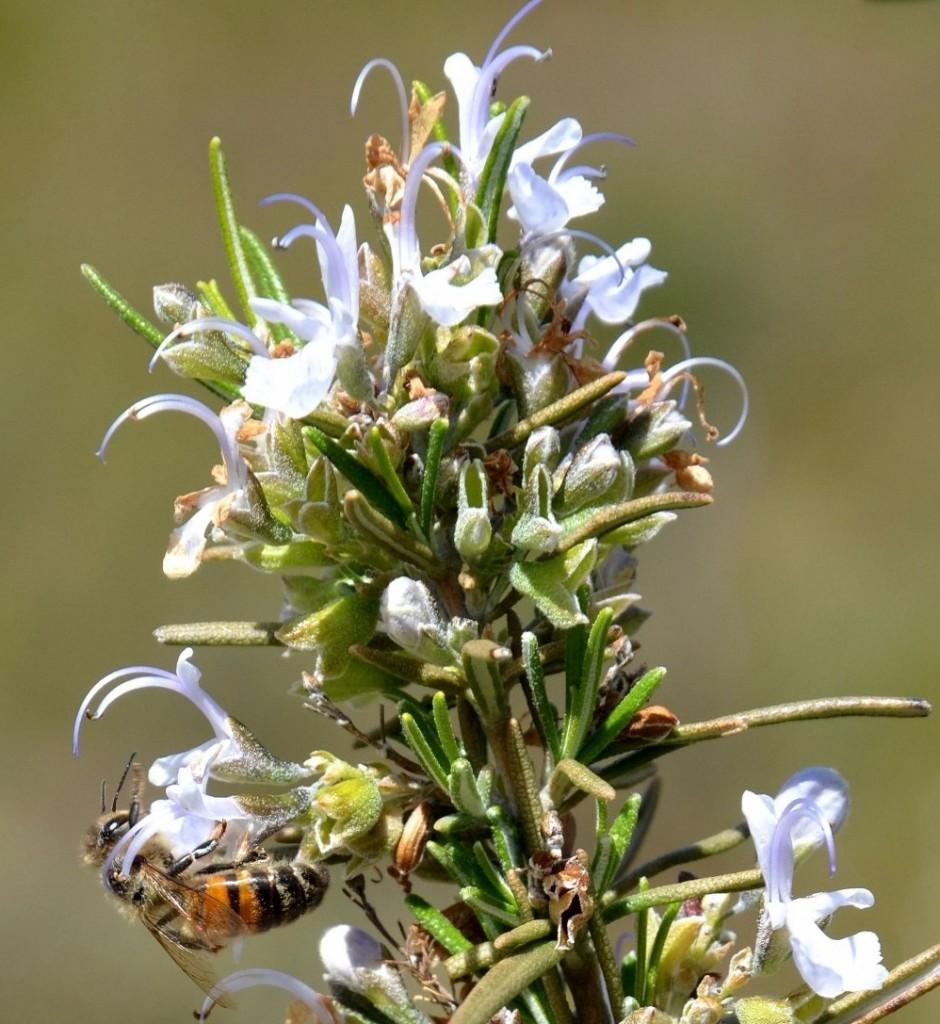 Sept co gestes pour prot ger les abeilles jardiner avec jean paul - Plantes qui fleurissent l hiver ...