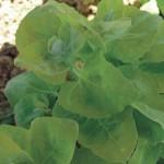 Arroche plant