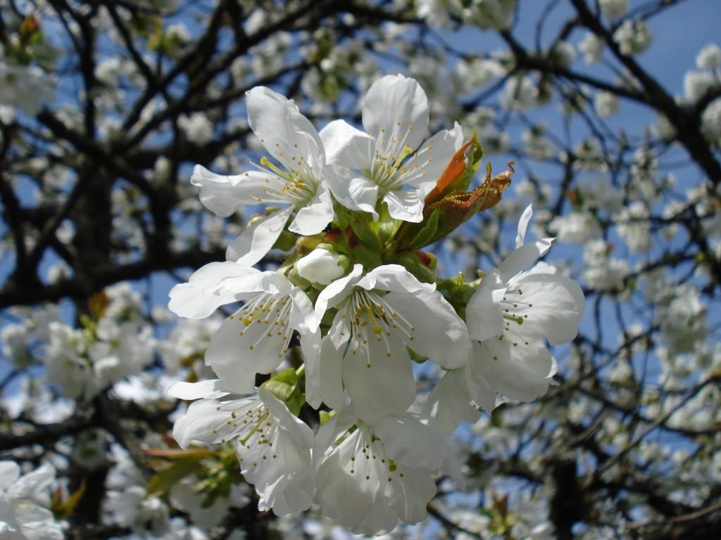 Cerisiers fleuris