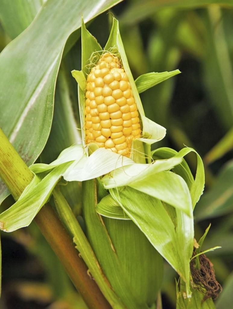 Maïs doux épis