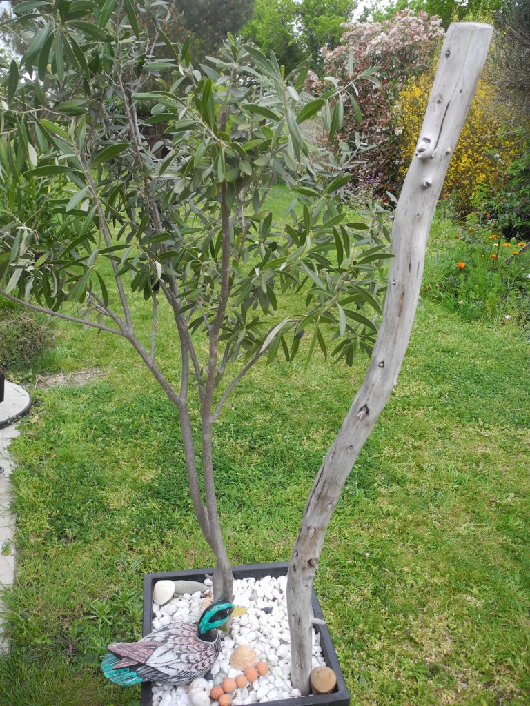 Olivier en pot jardiner avec jean paul - Engrais pour olivier ...