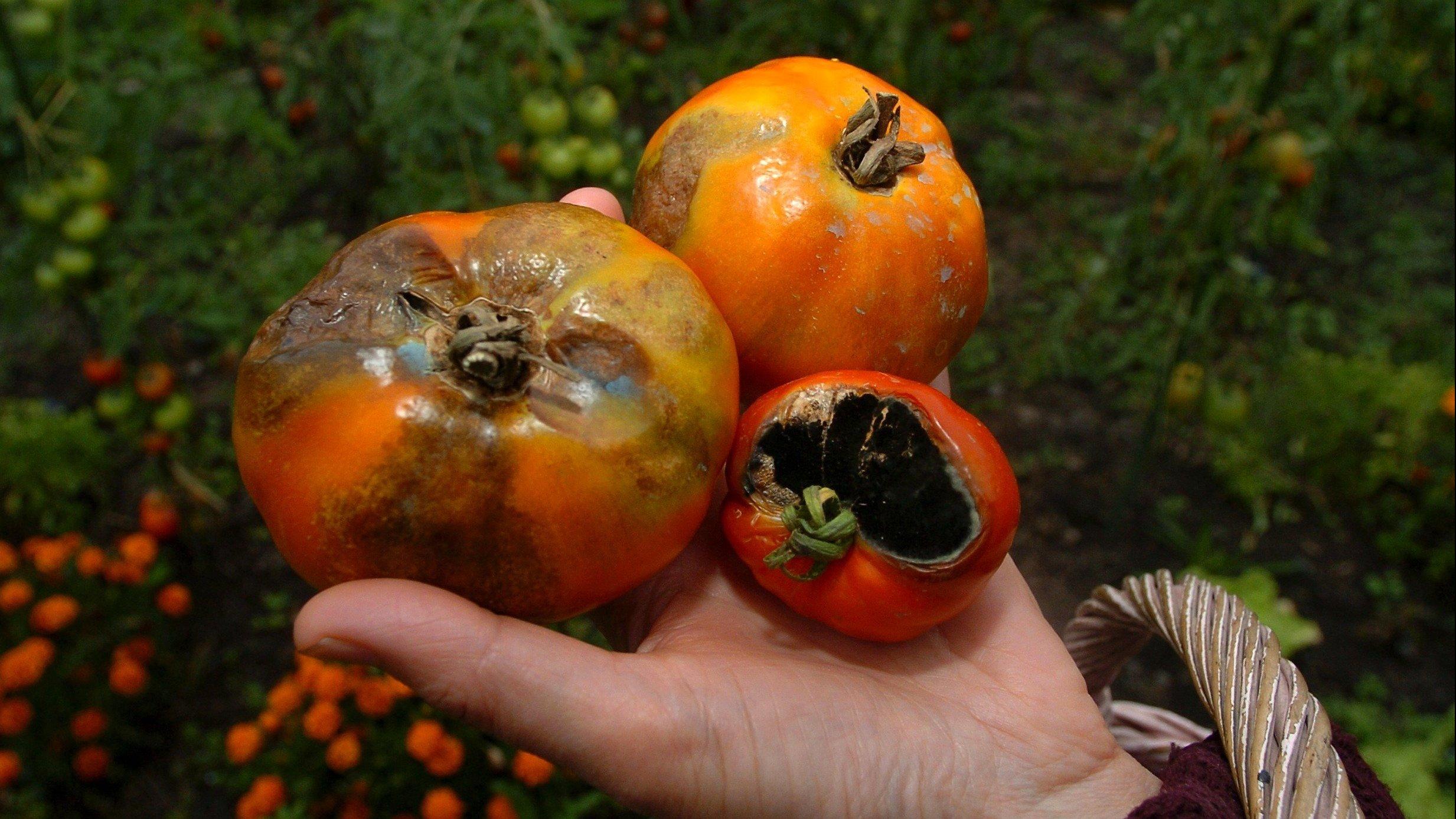 7 activit s pour le jardinier en ce mois de mai 2016 - Maladie pied de tomate ...