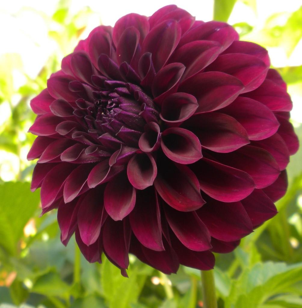 Fleurs du jardin Archives - Jardiner avec Jean-Paul
