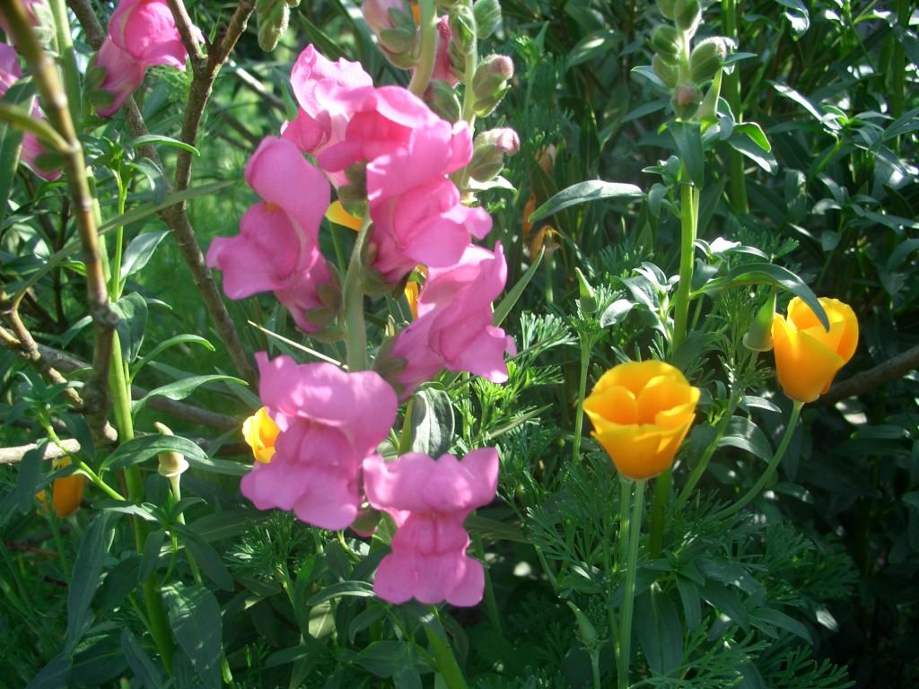 5 activit s au jardin pour ce mois de juin 2017 - Fleur gueule de loup ...