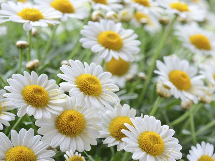 10 fleurs d coratives et comestibles dans votre jardin. Black Bedroom Furniture Sets. Home Design Ideas