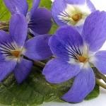 Violette odorante comestible