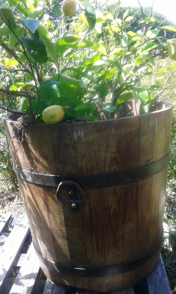 Les agrumes jardiner avec jean paul - Agrumes en pot ...