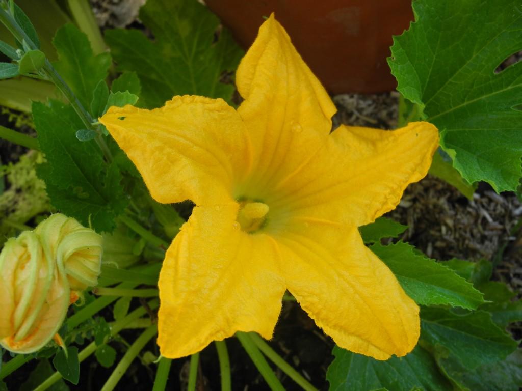 Fleur femelle de courgette