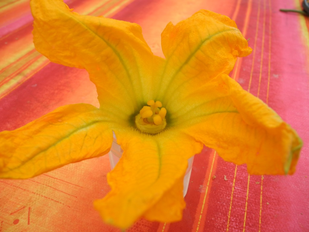 Fleur de courgette mâle (1)