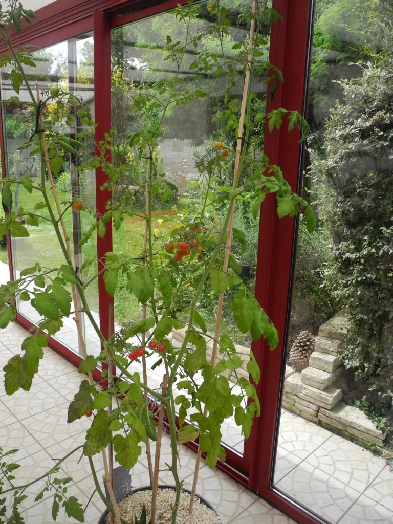 Tomates Véranda