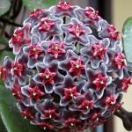 Une plante de véranda: l
