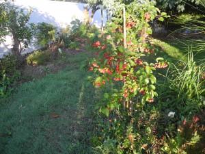 Pommier ornement