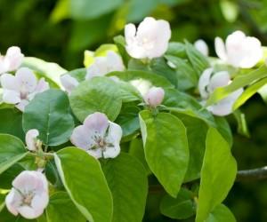 Coings-fleurs