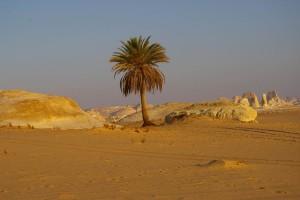 Palmier du désert