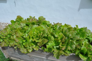 Salades de printemps