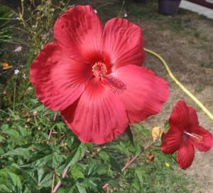 Hibiscus des marais (4)