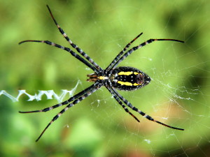 araignée1