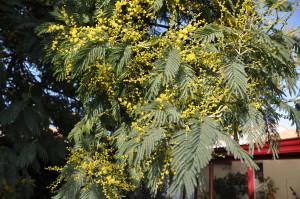 branche de mimosa fleuri