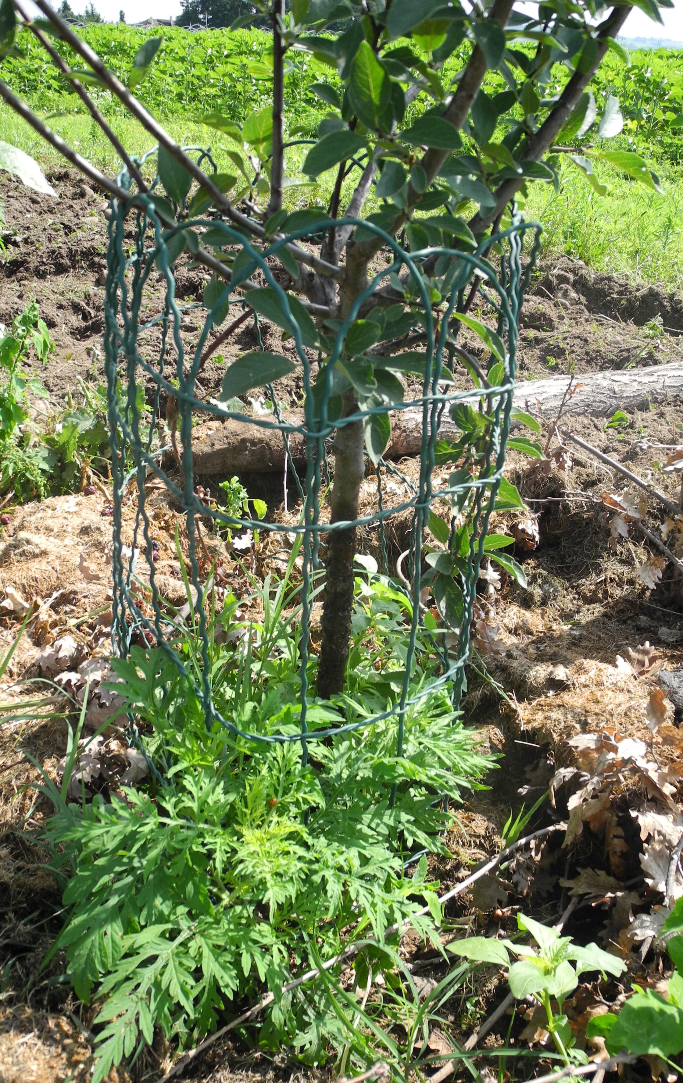 Comment Planter Un Arbre Fruitier planter un mirabellier - jardiner avec jean-paul