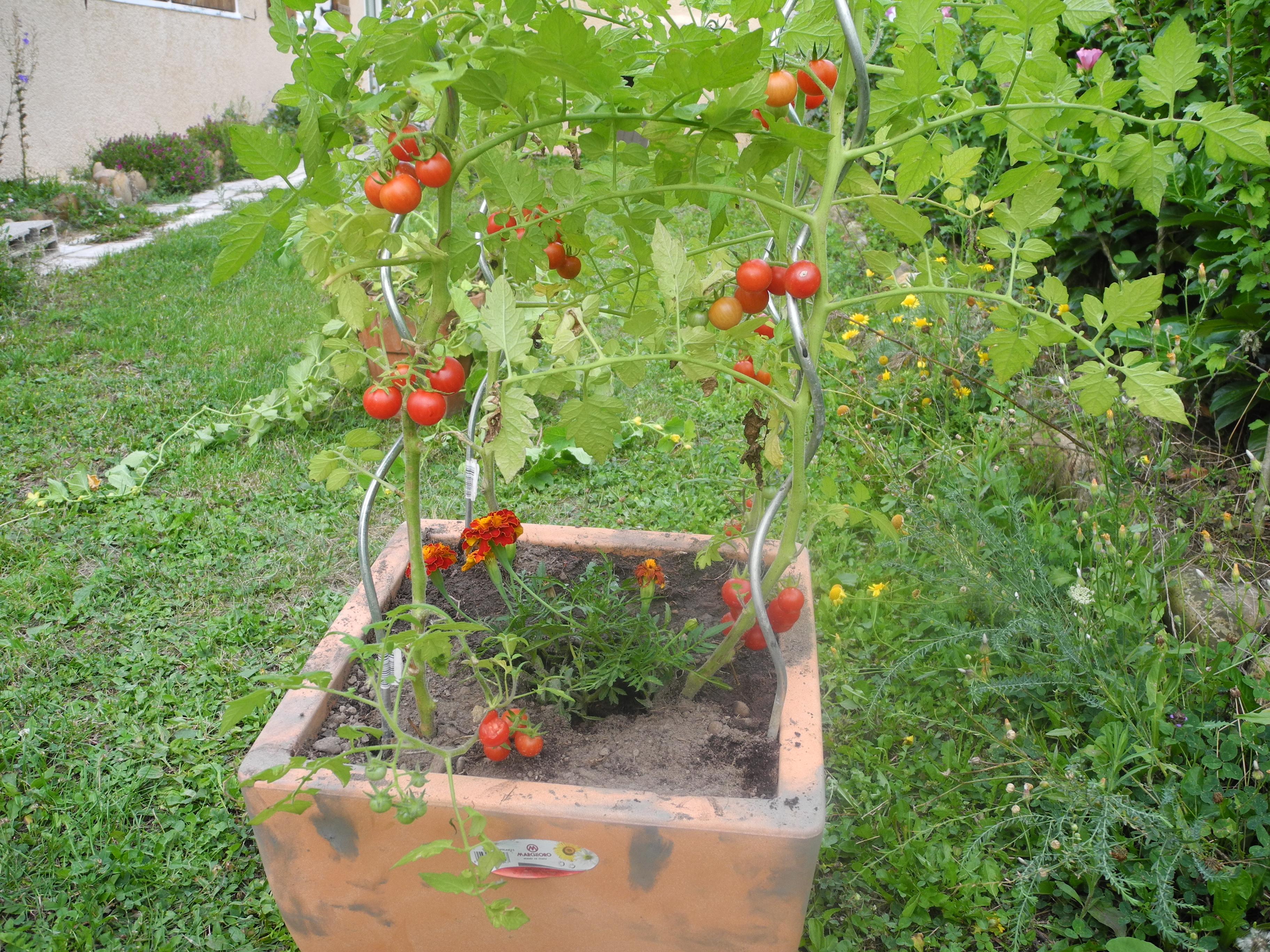 Quoi Mettre Au Potager En Septembre associez les tomates, le basilic, les salades - jardiner