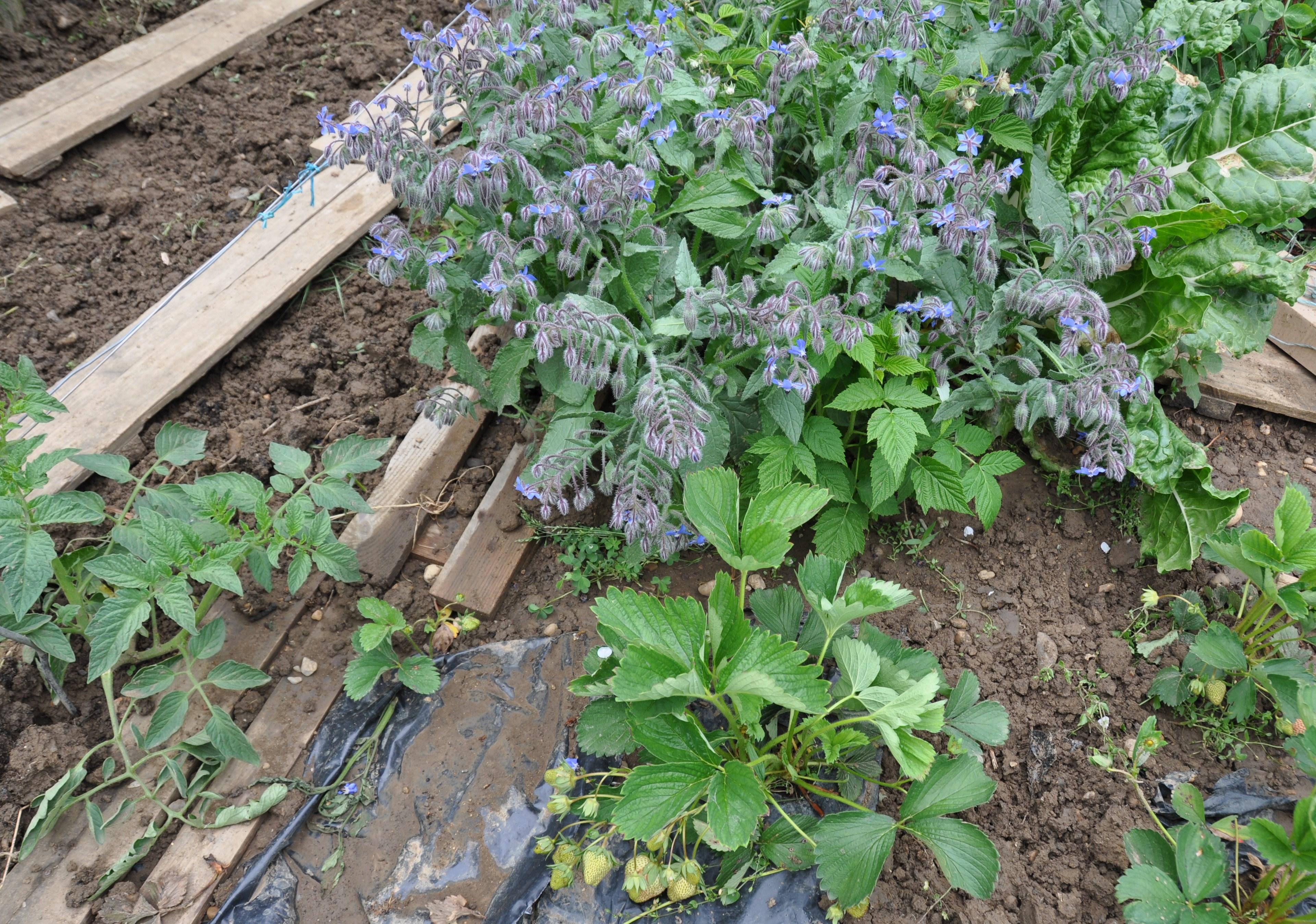 Quelles Fleurs Planter Fin Aout planter des fraisiers - jardiner avec jean-paul