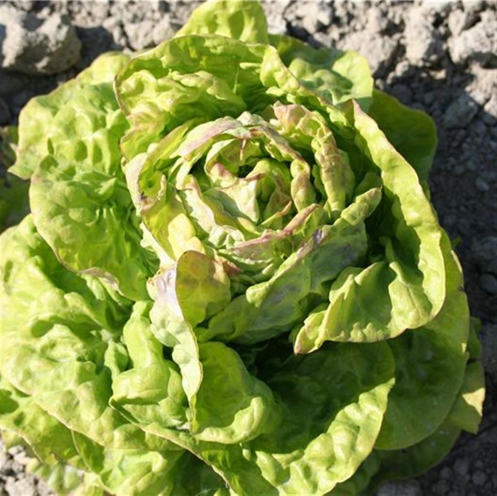Quelle Salade Planter Maintenant semer des salades - jardiner avec jean-paul