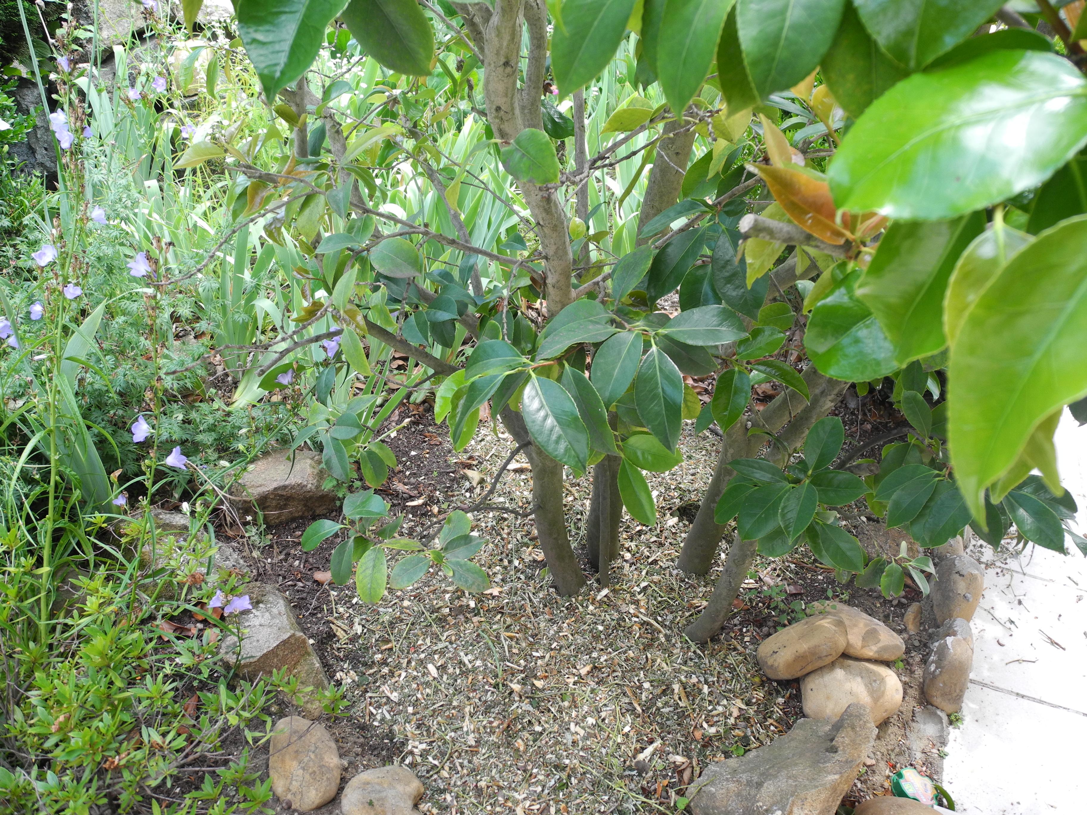 Quand Et Comment Tailler Une Passiflore taille des arbustes - jardiner avec jean-paul