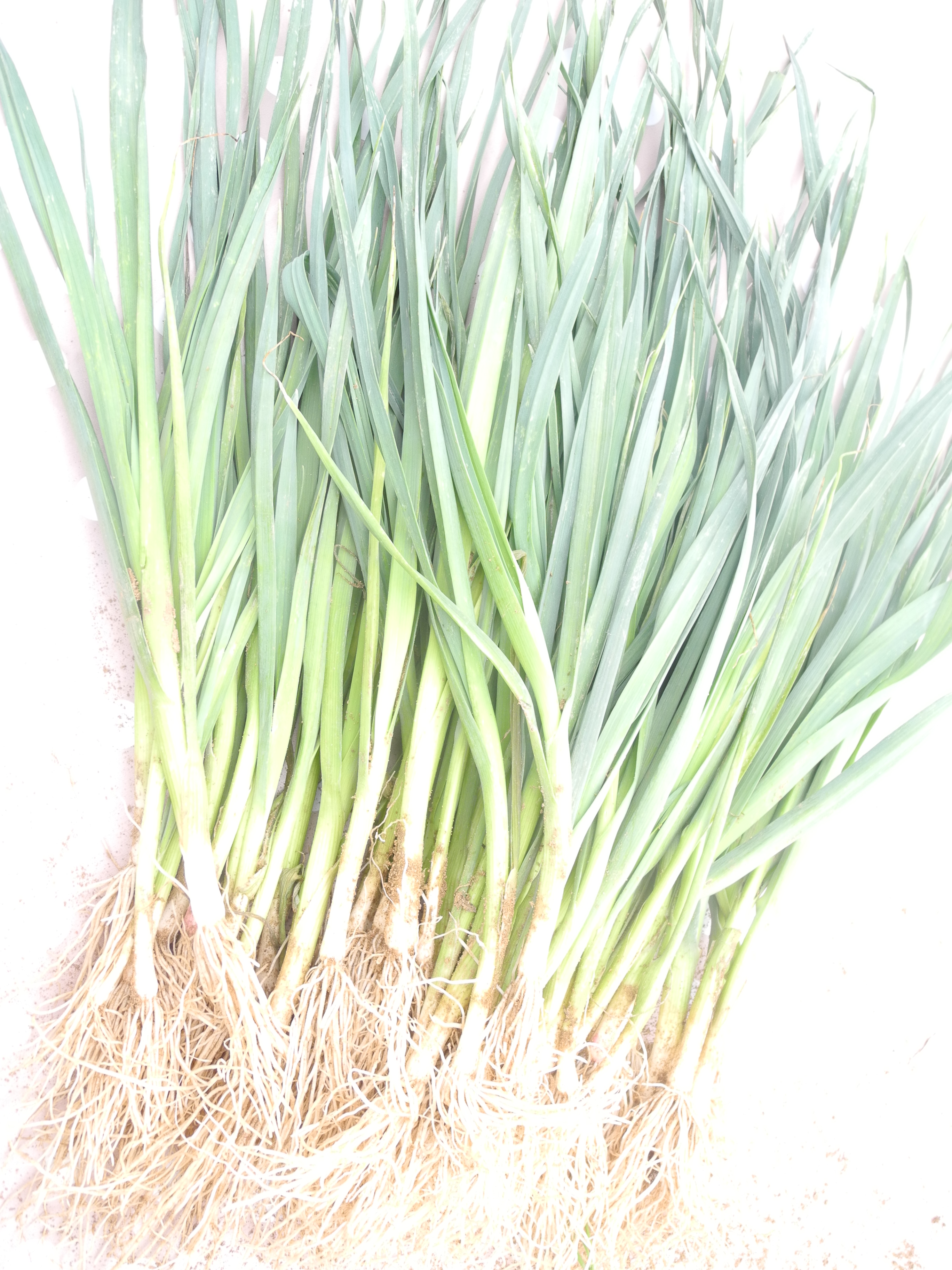 Repiquer Plants Oignons Blancs planter des poireaux - jardiner avec jean-paul