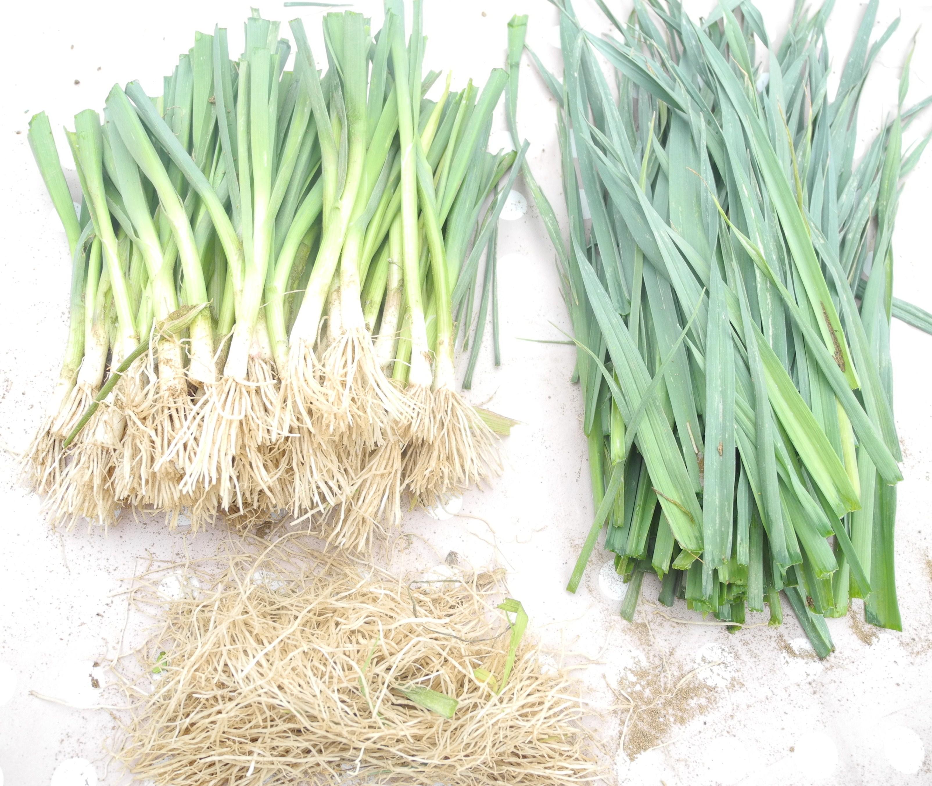 Oignon Blanc A Planter planter des poireaux - jardiner avec jean-paul