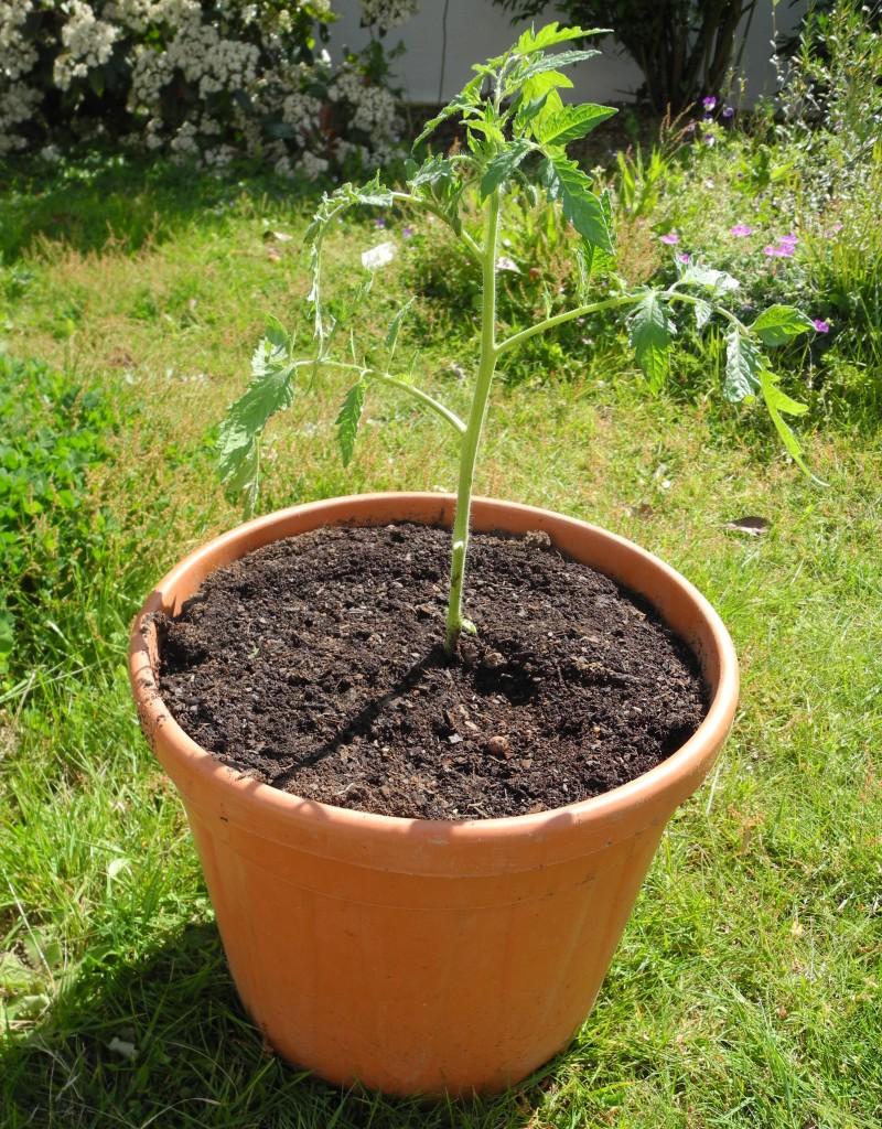 Planter Herbes Aromatiques Jardiniere planter des tomates en pots - jardiner avec jean-paul