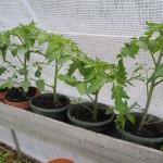 Plants de tomate sous serre