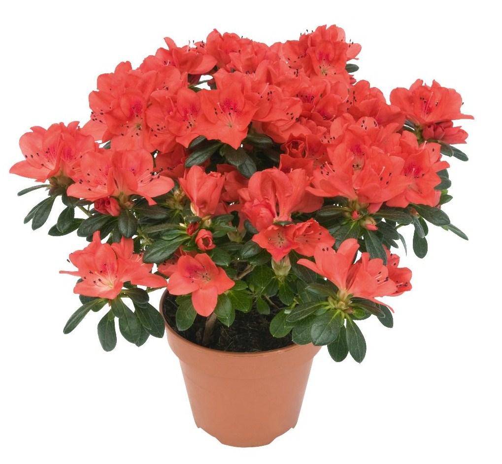 Plantes Fleuries En Pot Exterieur plantes d'intérieur en hiver - jardiner avec jean-paul