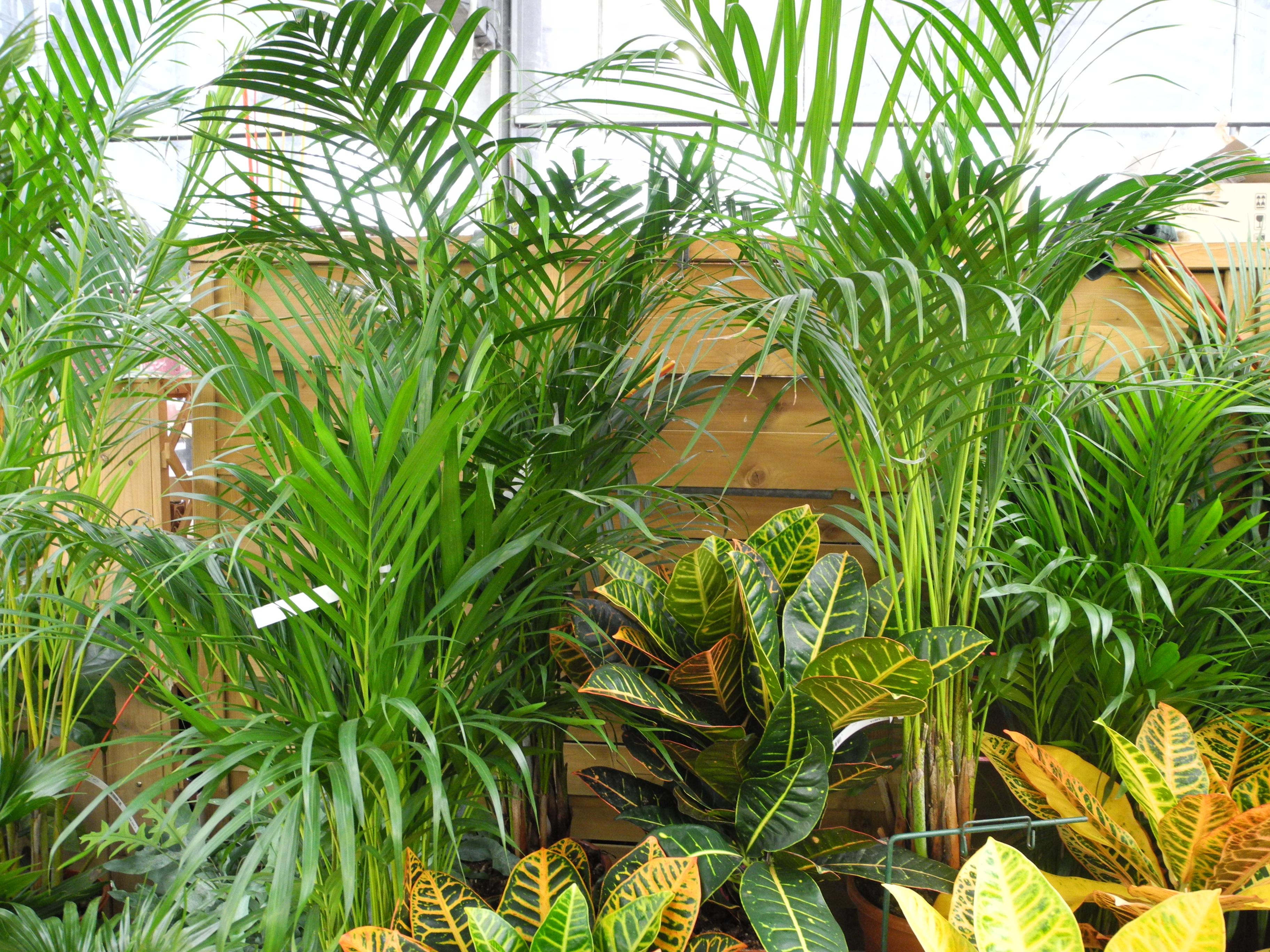 Arbre Fruitier D Intérieur plantes d'intérieur en hiver - jardiner avec jean-paul