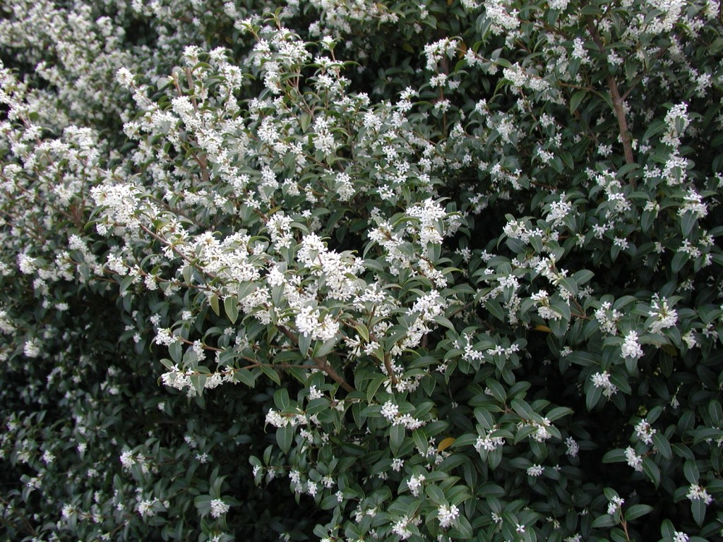 Arbuste Persistant En Pot Plein Soleil calendrier de la floraison des arbustes - jardiner avec jean